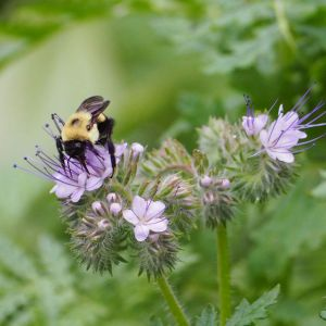 Bumblebee enjoying lacy phacelia | Horseradish & Honey blog