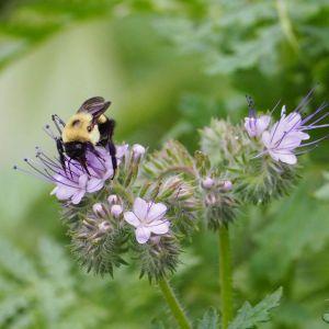 Bumblebee enjoying lacy phacelia | Horseradish & Honey blog