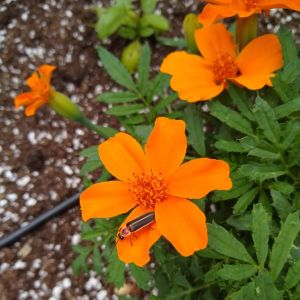 Firefly-Orange-Marigold-Horseradish-And-Honey