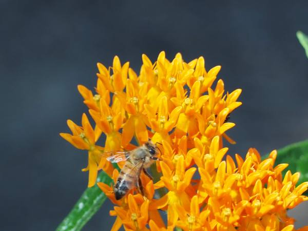 Bee on butterflyweed