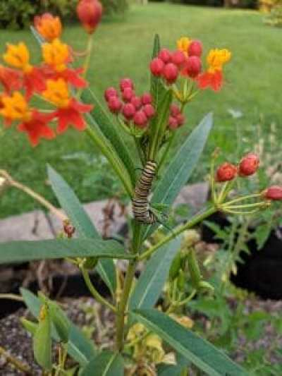Monarch Caterpillar on Tropical Milkweed
