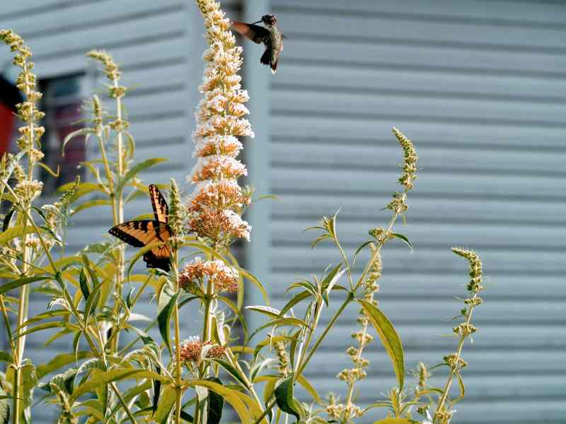 Hummingbird and Eastern Tiger Swallowtail Sharing Butterfly Bush | Horseradish & Honey Blog