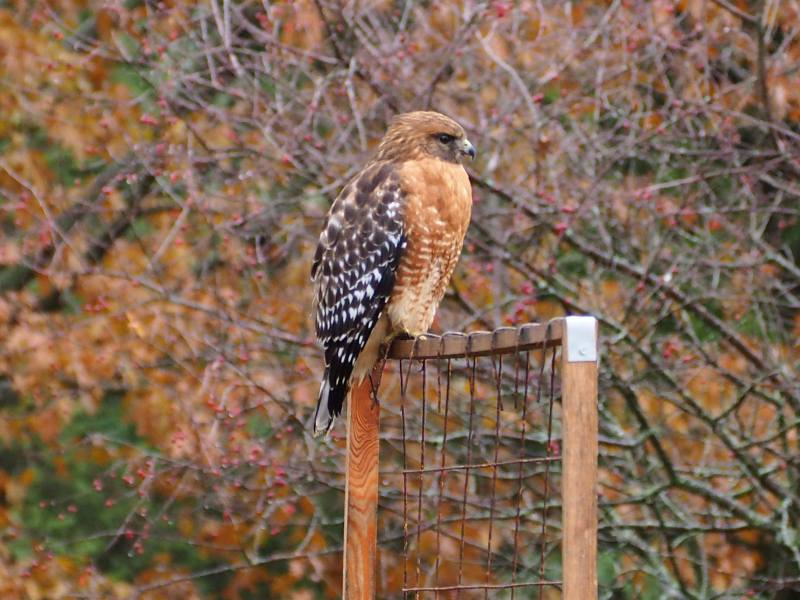 Close Up of Red-Shouldered Hawk on Trellis, Horseradish & Honey blog