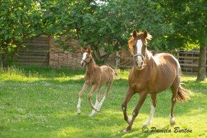 Lawaha (Ezil x Lubna ) and foal, Massinissa Monlau (No Risk Al Maury) at one month