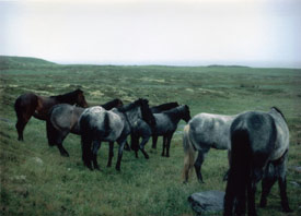 Archive images from the Newfoundland Pony Society: Cape Race ponies, taken in 1983.