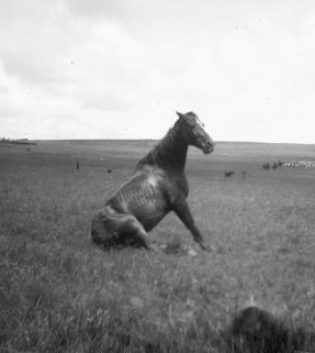 Horse of New Zealand Seventh Contingent, South African War, photographed about 1900 by George Edward Gabites. © Alexander Turnbull Library