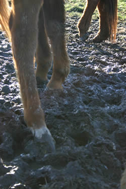 A soupy mix of mud and manure encourages the growth of bacteria which can cause problems with your horse's feet. Mud is your biggest enemy, and better adapted weeds can easily take over where grass used to grow.