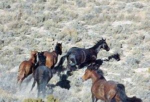 Wild horses in the Rocky Hills, southeast of Battle Mountain, Nevada.