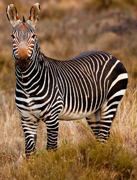 A Cape Mountain Zebra