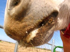 A horse with vesicular stomatitis shows blisters in the mouth area.