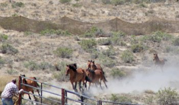 A young foal struggles to keep up with its mother during the roundup.
