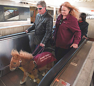Miniature guide horse Cuddles in training. © Todd Sumlin, Charlotte Observer / The Guide Horse Foundation