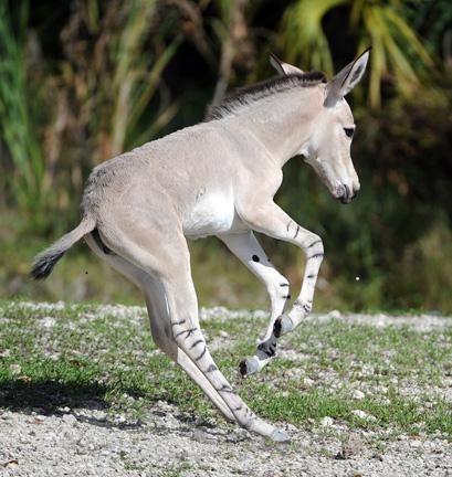 somali-wild-ass-25