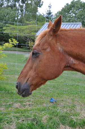 Insulin responses tend to increase with age in healthy horses.