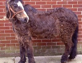 A horse with Cushing's disease.