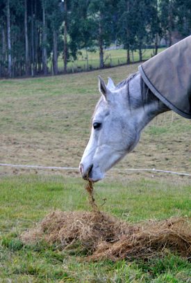 Horses on a diet of haylage in a Swedish study had lower lower counts of undesirable gut bacteria.