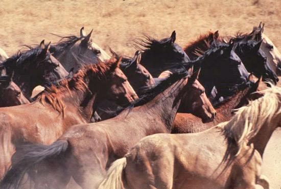 Wild horses in the Owyhee herd management area in Nevada.