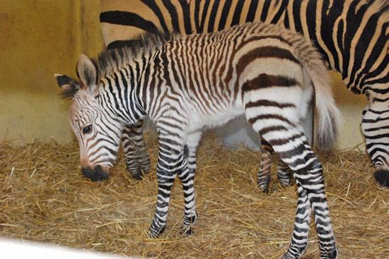 Blackpool Zoo's new colt foal.