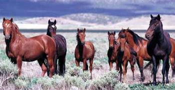 Free-ranging wild horses. © BLM/Utah