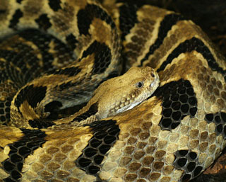 The timber rattlesnake, Crotalus horridus. Photo: Tad Arensmeier/Wikipedia