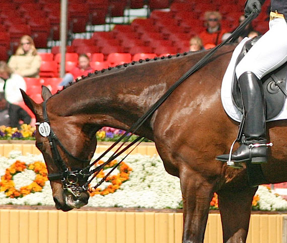 The horse's neck, stretching out to reach the bit, is a perception commonly associated with the lowering of the neck but the concept is in opposition of the muscular work actually achieved by the upper neck muscles when the neck is lowered.