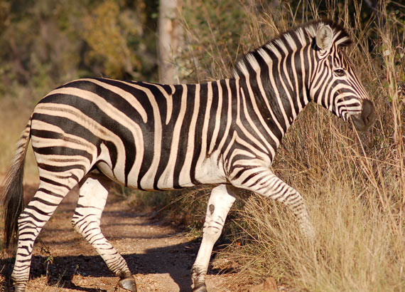Zebra stripes: Another theory to explain their purpose bites the