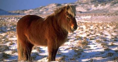 An Icelandic horse in full winter coat near Krýsuvík. Photo: Andreas Tille/Wikipedia