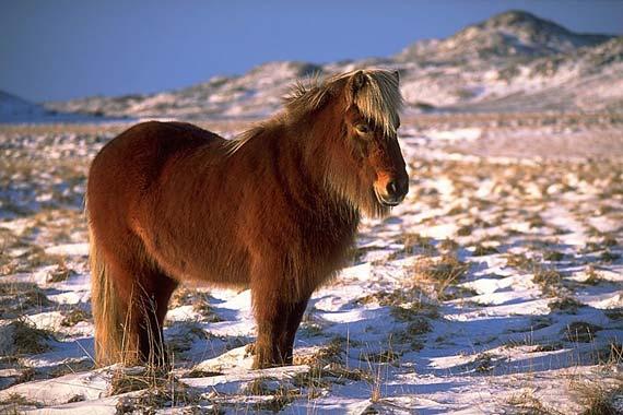 An Icelandic horse in full winter coat near Krýsuvík. Photo: Andreas Tille/Wikipedia
