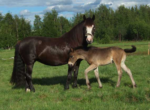 Selective breeding has greatly improved the racing functioning of Norwegian Gene-based applied scientific discipline could attention shape the futurity of Norwegian-Swedish trotters