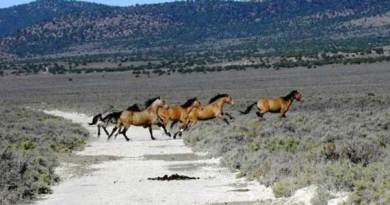 Wild horses in the Triple B Herd Management Area. Photo: BLM