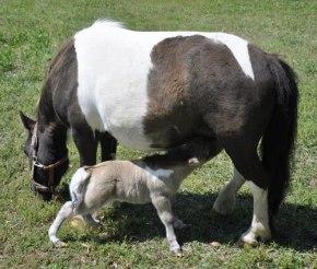 shammy-foal
