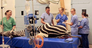 Dr Dean Richardson and nursing team prepare Zippy for surgery.