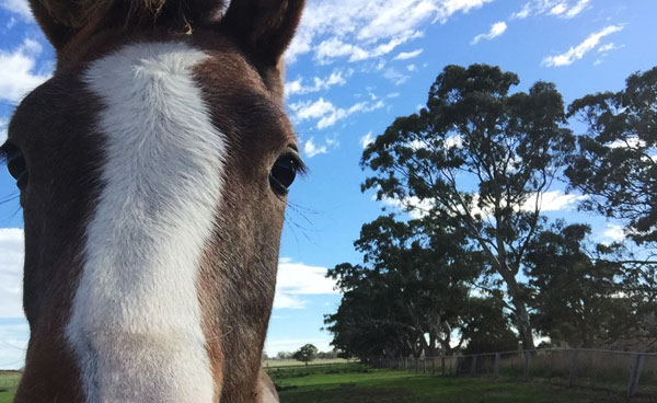 Oral traditions advise that differences inward the seat as well as issue of facial pilus whorls  Do facial whorls on horses harbor secrets most behavioral traits?