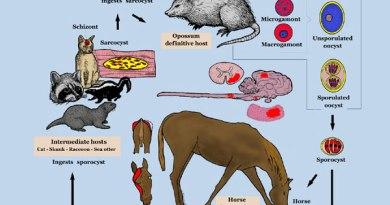 """""""Equine Protozoal Myeloencephalitis life cycle""""."""