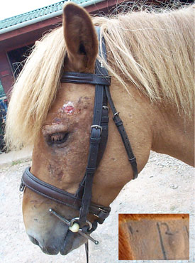 The pony in the picture shows typical signs of sweet itch. In severe cases such as this, the scabs and sores extend all the way down the mane along the back to the base of the tail and are also seen on the flanks, belly and legs. Inset is a photograph of a typical response that occurs following an injection of Midge proteins. There is a small swelling in the area of skin that has been tested for sensitivity to midge extract in salt solution (square 2) compared to an area of skin injected with the salt solution alone (square 1).