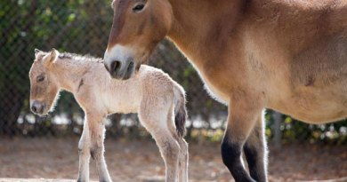 Denver Zoo's new Przewalski's horse foal, who was born on October 29.