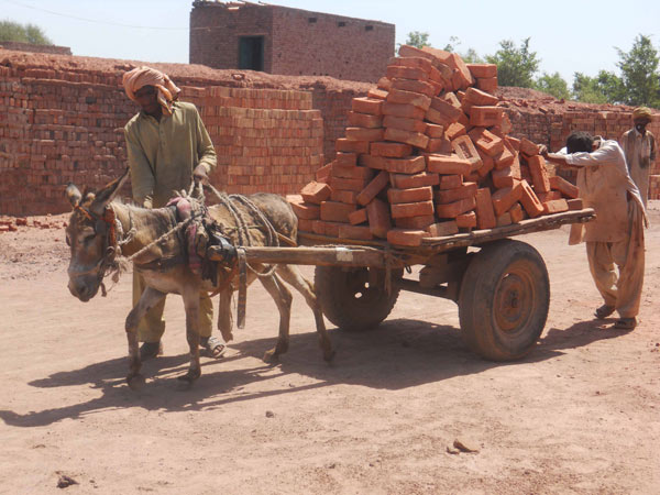 This overloaded donkey is in it for the long haul, carting bricks from the kilns in India.