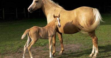 A palomino mare and her foal in Surrey, England. Photo: (a friend of) Kvetina-Marie via Flickr.com CC BY 2.0 via Wikimedia Commons