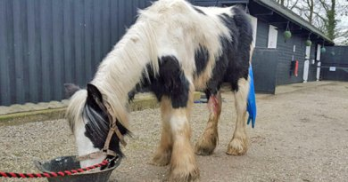 Liquorice has a low body score and there are grave concerns over a leg wound. Photo: Redwings