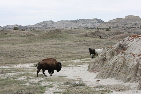 At Theodore Roosevelt National Park, free-roaming horse herds share space and resources with the park's native wildlife population, which includes bison, elk, bighorn sheep and pronghorn. Photo: Marlylu Weber, North Dakota Badlands Horse Registry)
