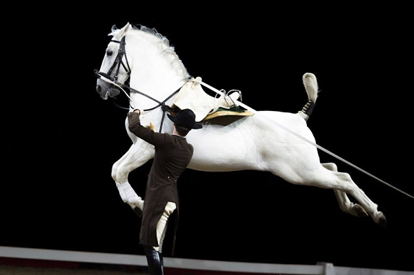 A lipizzaner performing at Vienna's Spanish Riding School.