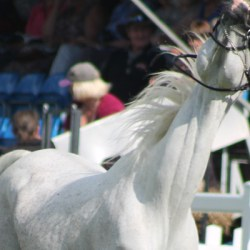 The trouble with the arabian horse community