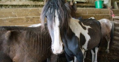 Cappuccino before he was rescued along with dozens of other horses from a property in Exeter.