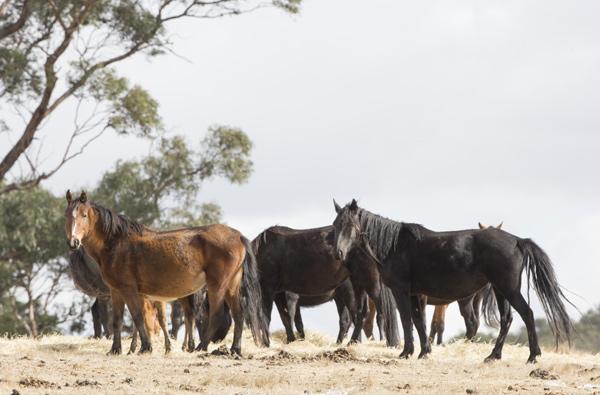 A herd of wild Brumbies. © Christiane Slawik
