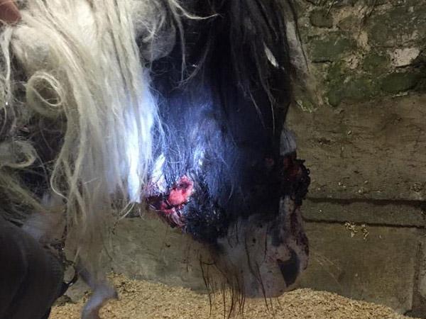 The head collar had also dug into his chin.