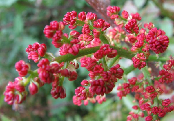 Beautiful but deadly: Pistacia terebintha flowers.