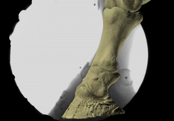 Researchers used a new technique to analyse skeletal stresses in the equine foot.