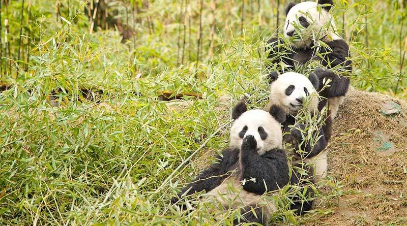 Giant pandas having a snack on bamboo in Sichuan province.