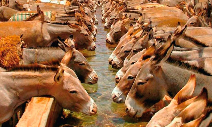 Donkeys drink at one of the new troughs in the drought-prone district of Shala, Ethiopia.