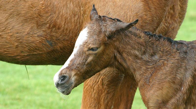 foal-800-445